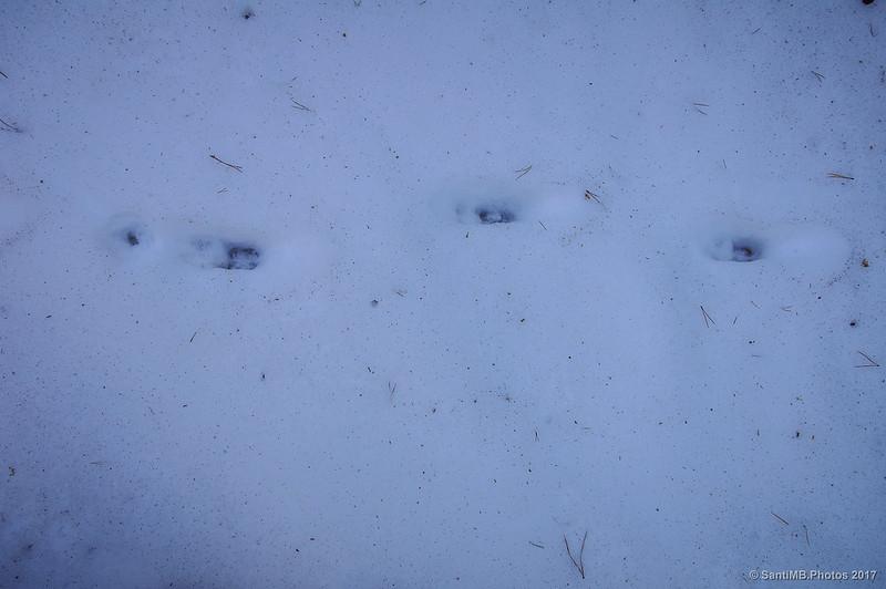 Pisadas de rebeco en la nieve