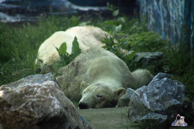 Eisbär Fiete im Zoo Sosto 29.05.2017 187