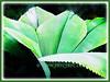 Johannesteijsmannia magnifica (Silver Joey, Umbrella Palm, Daun Payung in Malay)
