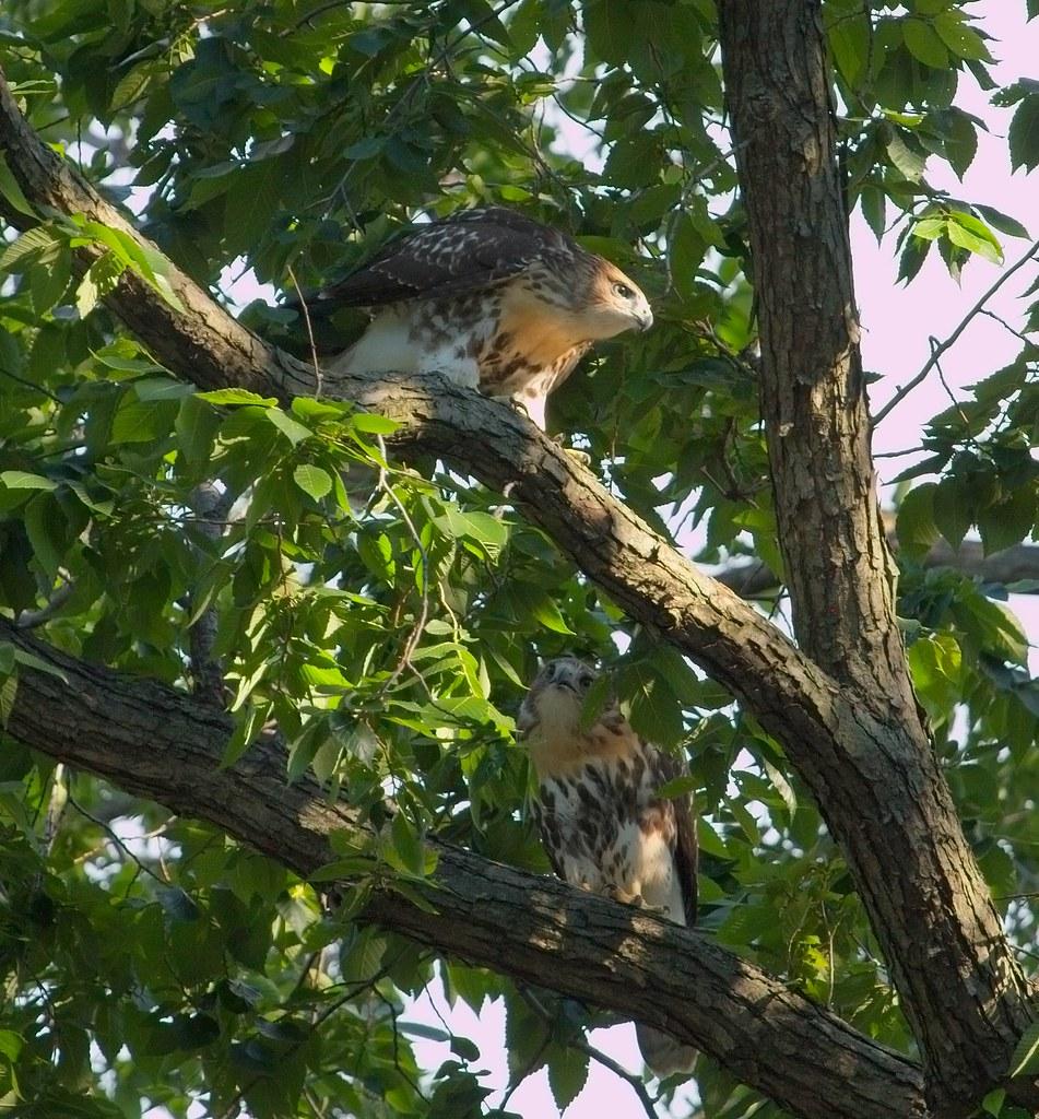Tompkins fledglings #2 & #1