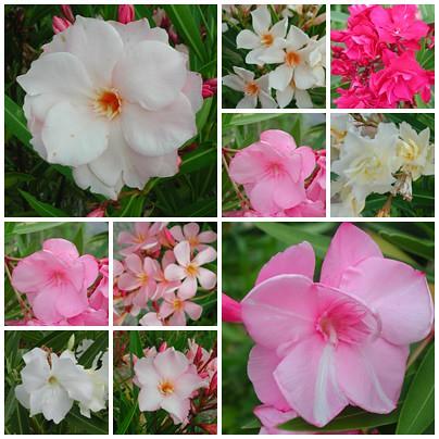 Nerium oleander - laurier rose - Page 2 35458491326_472b5ce929