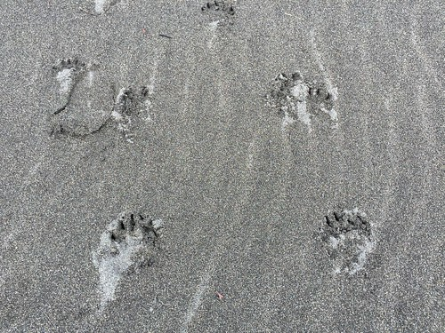 Huellas de oso pardo de costa en Alaska