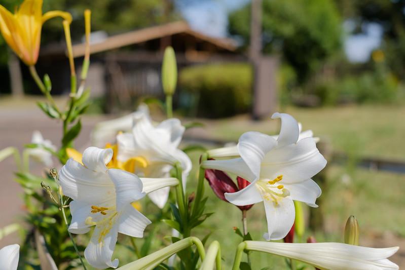 百合 lily