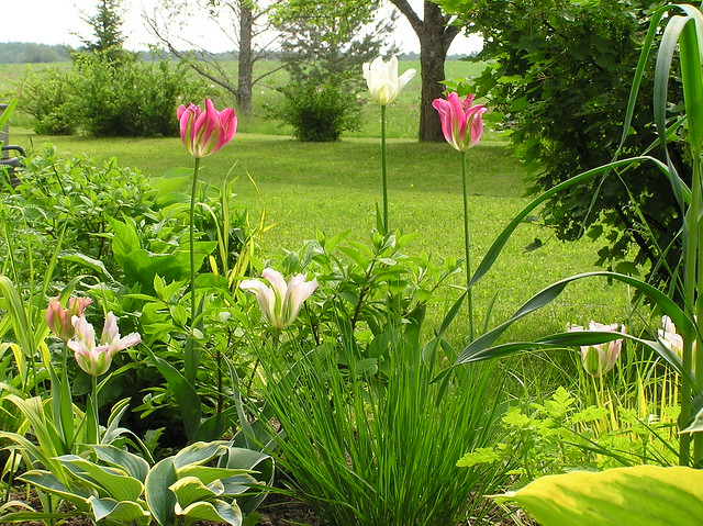 Garden Beds with Viridiflora tulips