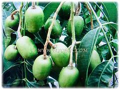Fruits and leaves of Spondias dulcis (Ambarella, Golden/Jewish/Polynesian Plum, Golden Apple, Umbra Fruit, Buah Kedondong), 25 June 2017