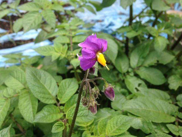 Tendrils: Purple potato flowers