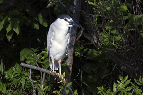 Nickerson Beach: Black-crowned Night-Heron