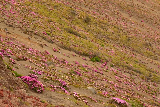 高千穂峰 ミヤマキリシマの群生
