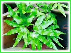 Potted Lygodium japonicum (Japanese Climbing Fern, Climbing Fern, Vine-like Fern) in our garden, 11 Jan 2007