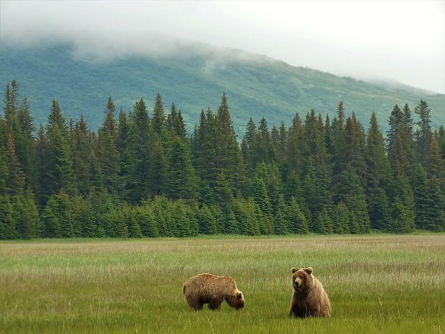 Osos en Salmon Creek (Lake Clark, Alaska)