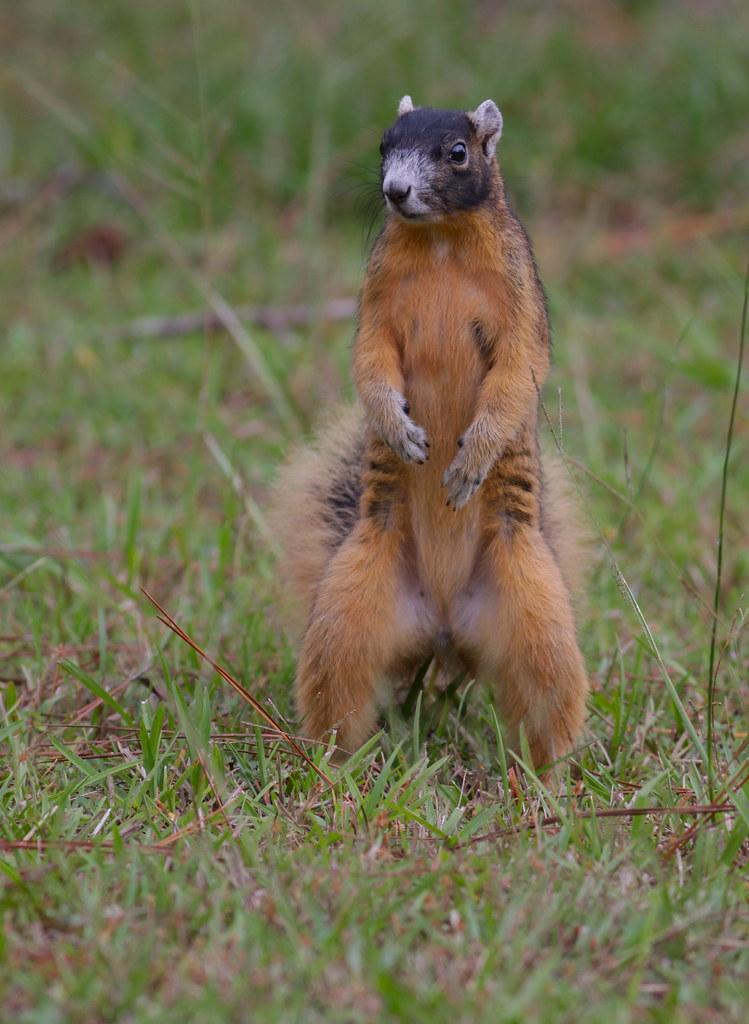eastern fox squirrel florida gerald rozemeijer flickr
