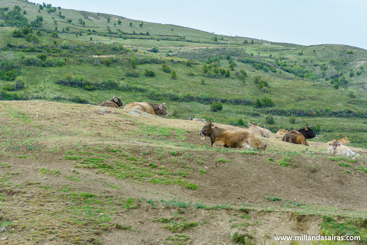 Vacas en las laderas del cañon del Leza