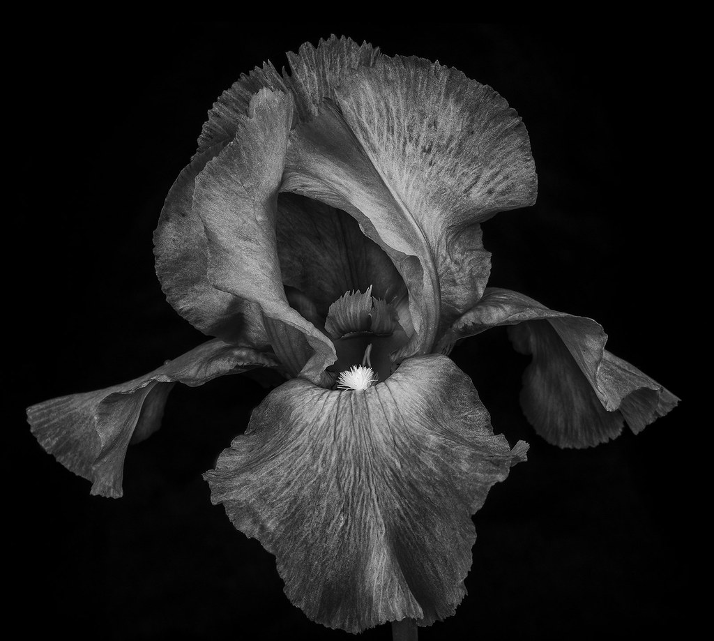 Purple Rbloomer Iris In Black And White This Is A Flower F Flickr
