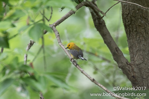 Prothonotary Warbler | by Bothering Birds