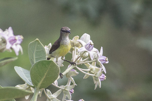 Purple Sunbird , female ?