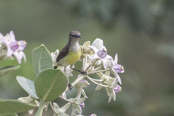 Purple Sunbird , female ?