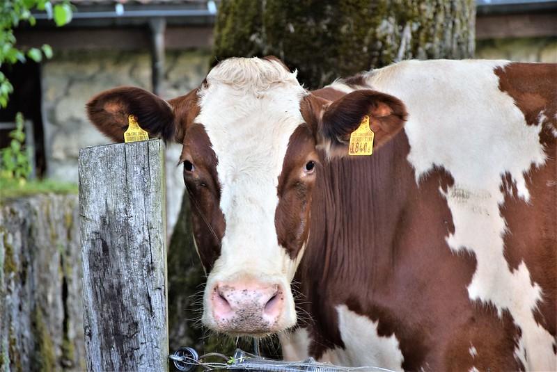 Cows 17.06 (1)
