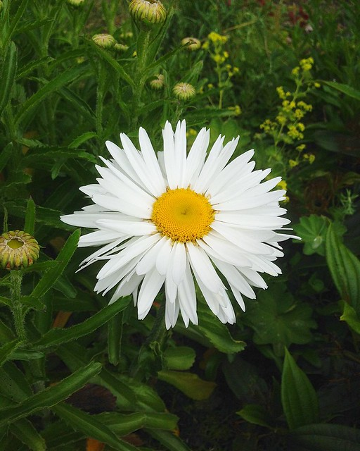 One daisy in the front yard is an over-achiever.