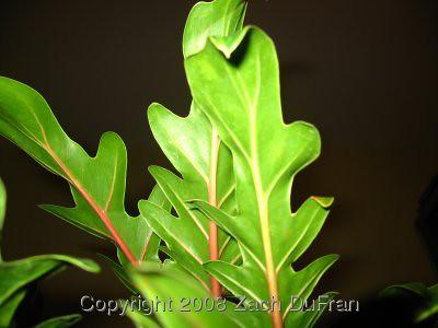 xanadu_new_leaf