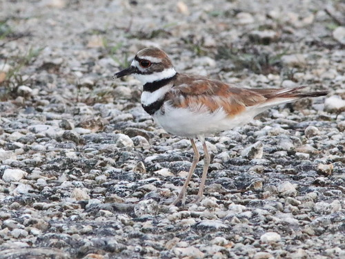 Killdeer 01-20170617