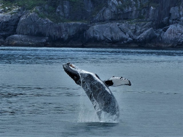 Ballena jorobada saltando en Alaska