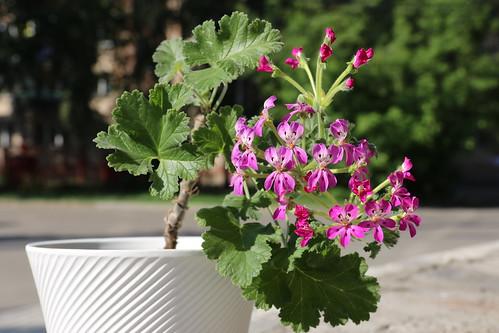 Pelargonium hybrid, autor Cliff Blackman (Australia)