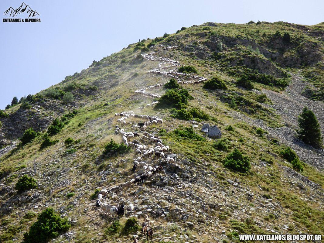 κοπαδι στο βουνο ροσκα ευρυτανιας πλατανακι βουνο