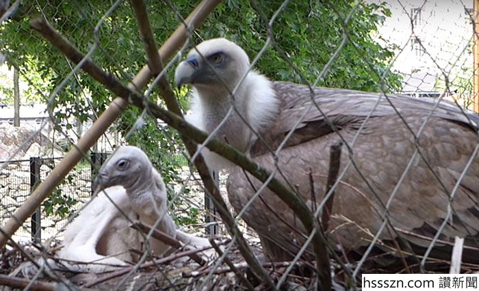 same-sex-gay-vulture-couple-hatch-abandoned-baby-egg-6_700_426