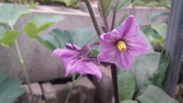 꽃은 맛있다! | 가지꽃