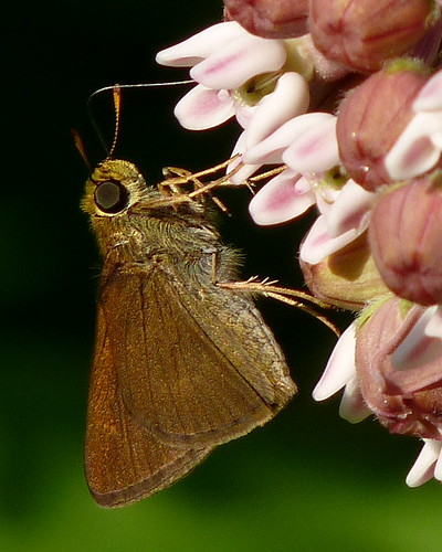Tawny-edged Skipper | by Dendroica cerulea