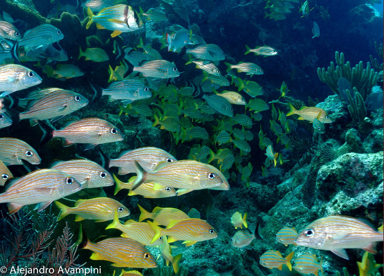 Peces en el la Barrera de Coral Mesoamericana