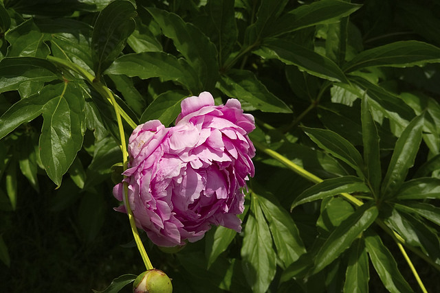 The Peony Behind the Apple Trees