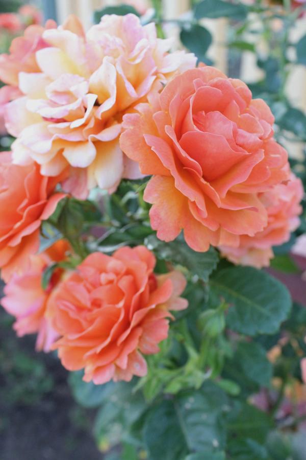 orange peach roses