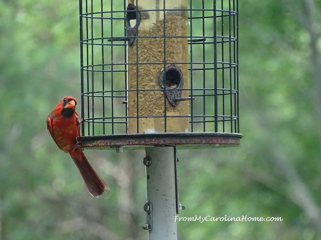 Juvenille Cardinal at From My Carolina Home