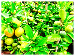 Citrus mitis (Calamansi, Golden Lime, Panama Orange, Calamondin Orange, Chinese Orange, Musk/Acid Orange), a prolific fruiting tree, 14 Jan 2013