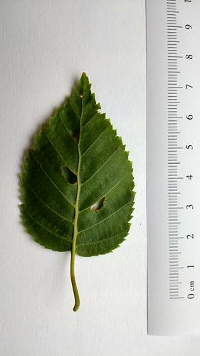 Betula leaf