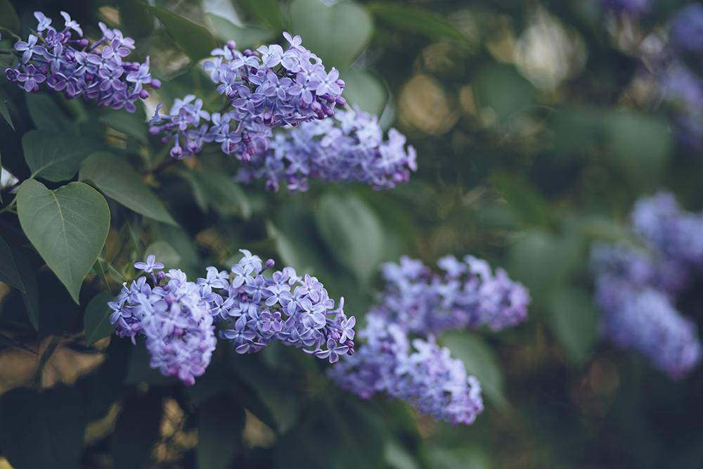 Syren flowers