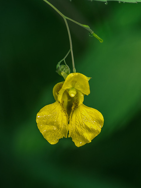 Pale Jewelweed