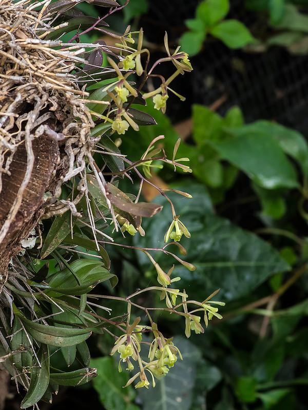Epidendrum magnoliae flowers
