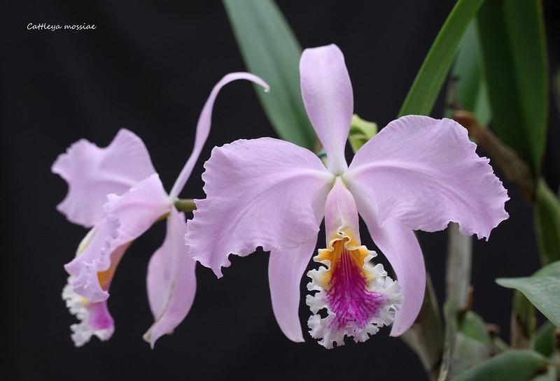 Cattleya mossiae 35052269476_61687bf9e8_c