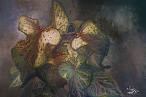 Image of painted coleus plants in my yard