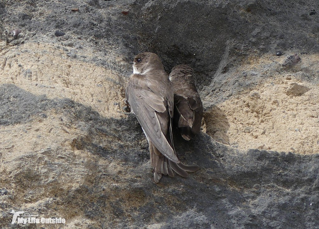 P1080600 - Sand Martin, Burry Port