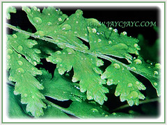 Sporangia on the captivating leaves of Lygodium japonicum (Japanese Climbing Fern, Climbing Fern, Vine-like Fern), 27 June 2017