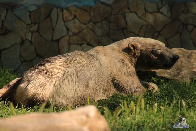 Eisbär Fiete im Sosto Zoo 28.05.2017 160