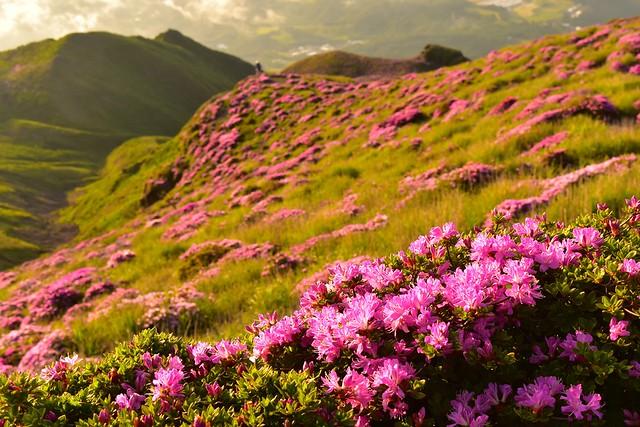 霧島山・高千穂峰登山 満開のミヤマキリシマ