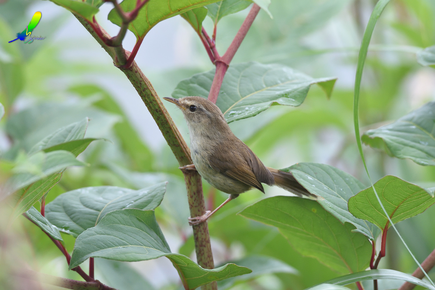 Strong-footed_Bush_Warbler_4178