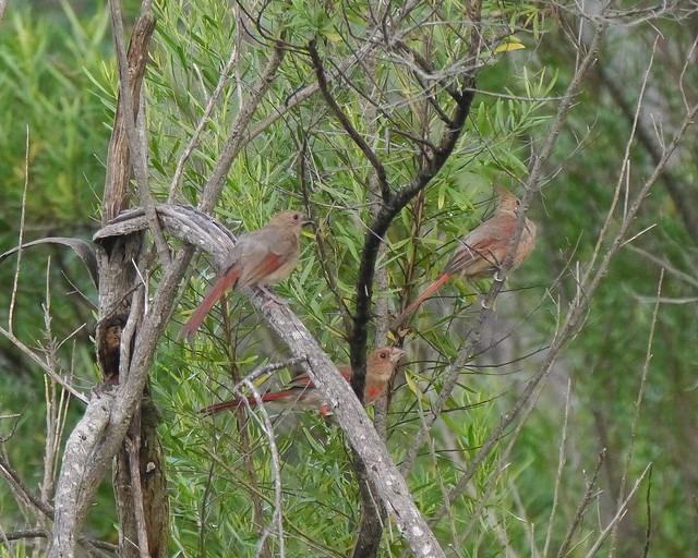 Family of Juvenile Northern Cardinals