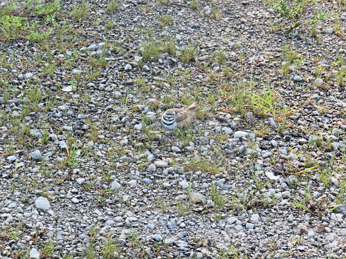 Killdeer on nest ZOOM 02-20170617