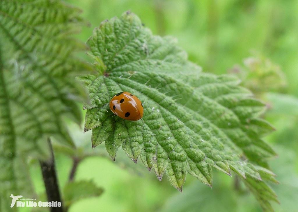 P1080506 - 7-Spot Ladybird