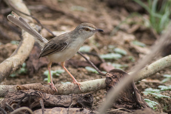 Plain Prinia or Jungle Prinia